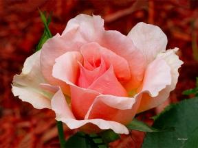 Photo of Rose