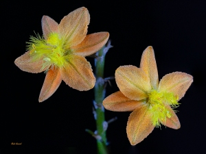 photo of Bulbine taken at 1X