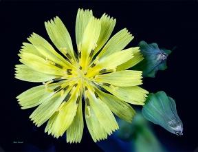 photo of Broadleaf Plantain [lawn weed] taken at2.3 X