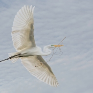 Photo of Great Egret Flying with Branch