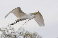 Photo of Great Egret with Vines