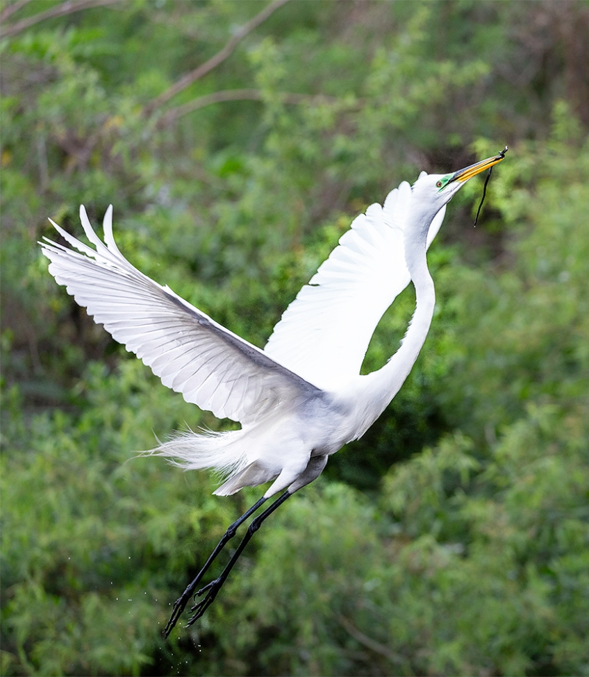 photo of Great Egret Taking off