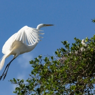 photo of Great Egret Nestbound