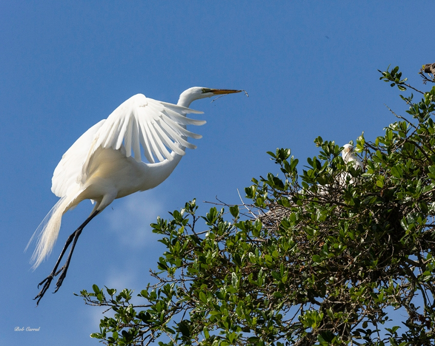 photo of Great Egret Nestbound