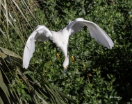 photo of Snowy Egret Diving