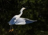 photo go Snowy Egret Taking Off