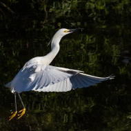 photo go Snowy Egret Taking Off