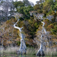 photo of Lake Disston Cypress