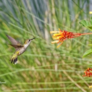 photo of Hummingbird and Firebush