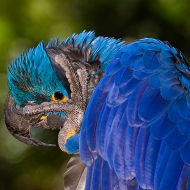 Photo of Hyacinth Macaw