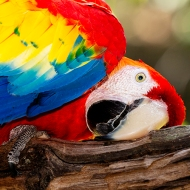 photo of Scarlett Macaw
