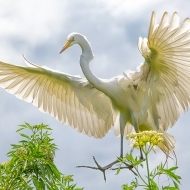 Photo of great Egret Landing
