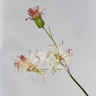 photo ofTassel Flower dropping seeds,