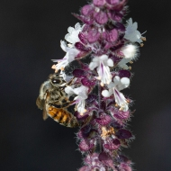photo of Bee on Blue basil