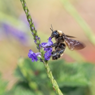 photo of Bumble Bee on Porter Weed