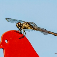 photo of Dragonfly on feeder head