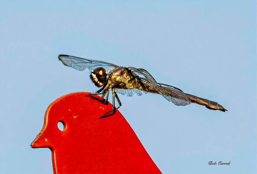 photo of Dragonfly on feeder head
