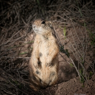 photo of Utah Prarie Dog