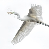 photo of Great Egret Flying with Twig