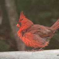 photo of Cardinal on Fence