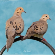 photo of Doves on a Perch