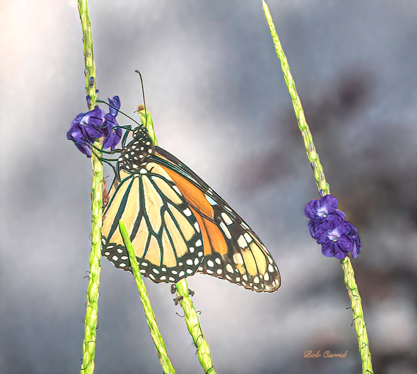 photo of Monarch Butterfly on Porterweed