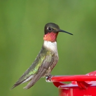 photo of Ruby Throated Hummingbird on Feeder