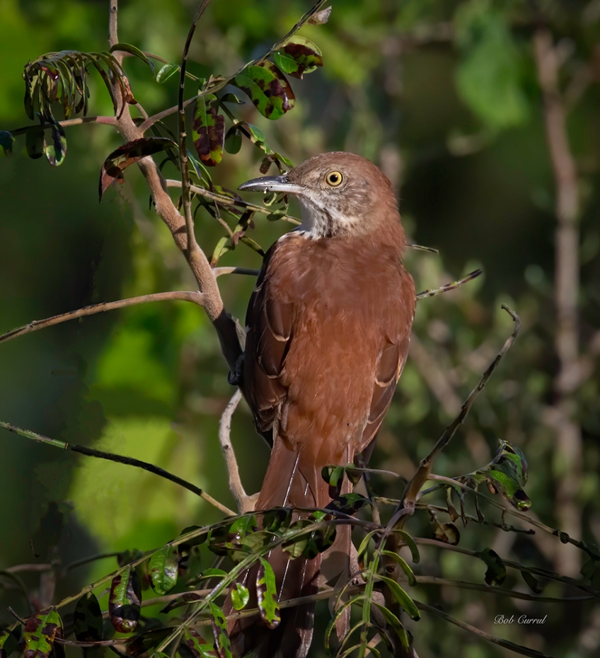 Photo of Brown Thrasher