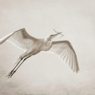 photo of Great Egret