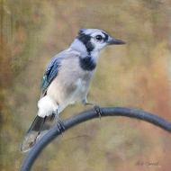 photo of Blue Jay