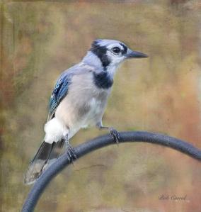 photo of Blue Jay