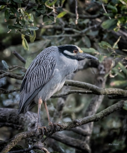 photo of Yellow Crowned Night Heron