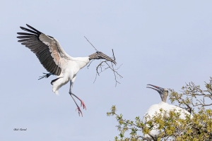 photo of Wood Stork bringing Nest building material
