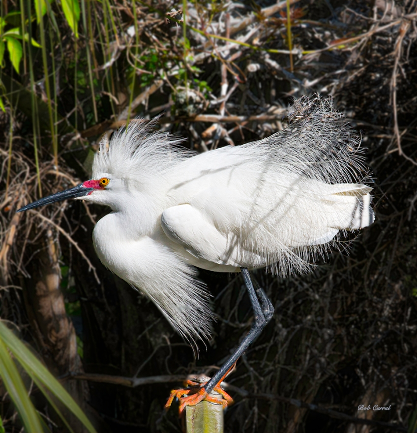 photo of Snowy Egret on a Post