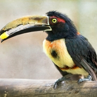 photo of Collared Aracari