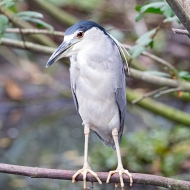 photo of Black Crowned Night Heron