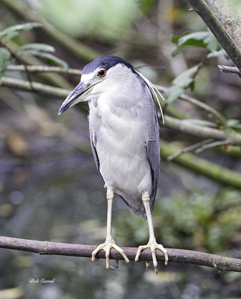 photo of Black Crowned Night Heron