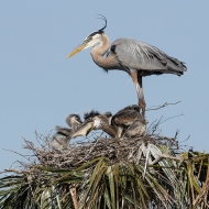 Photo Great Blue Heron & Chicks in Nest