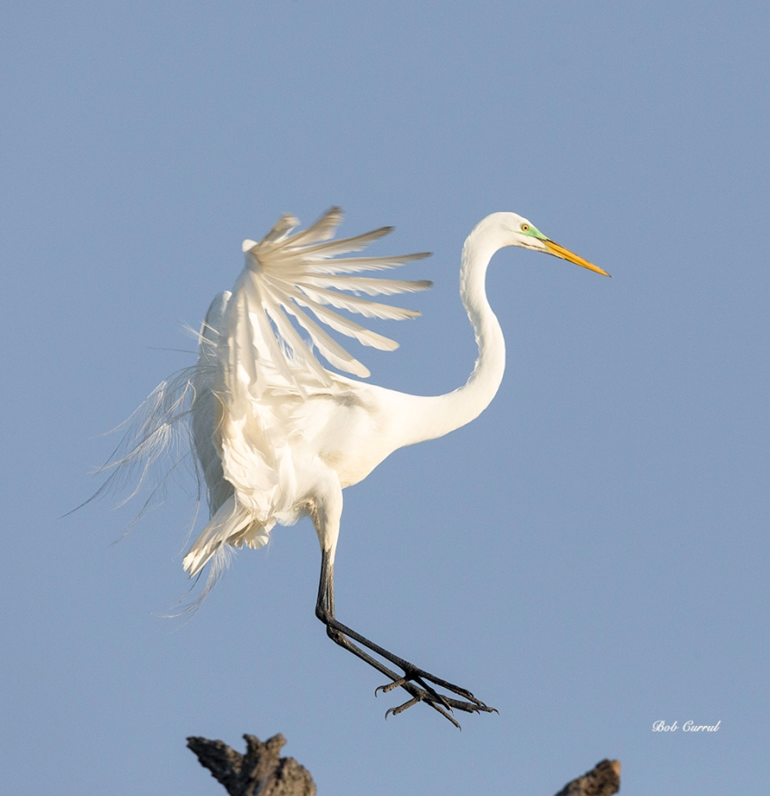photo of Great Egret Touching Down