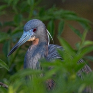 photo of Tricolor Heron up close.