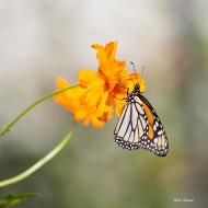 Photo of Gulf Fritillary