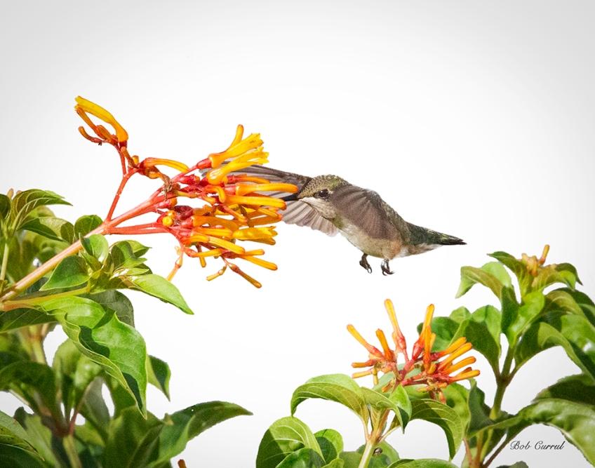 photo of hummingbird and Firebush