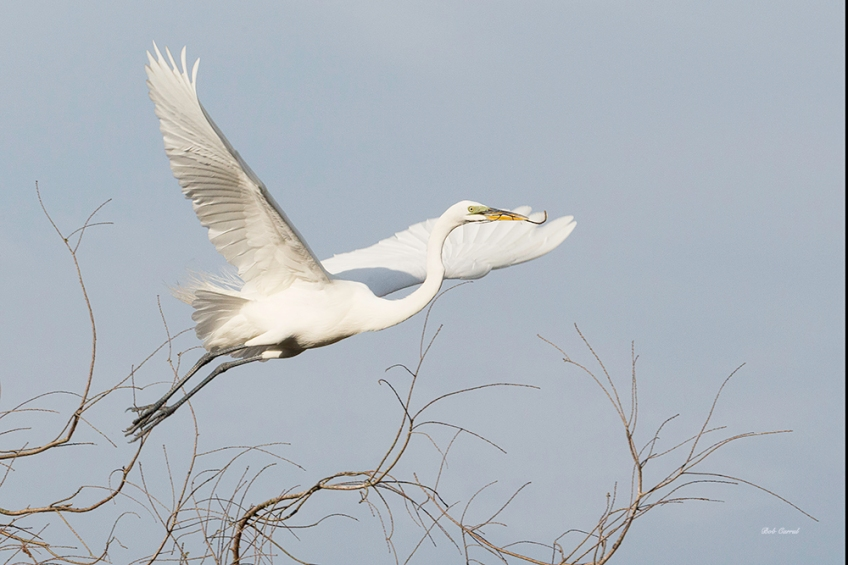 photo of Egret and Branches