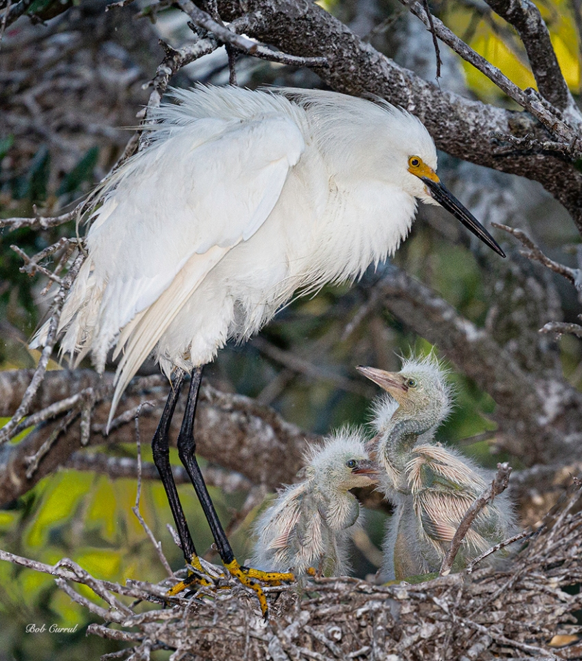 photo of Snowy Egret with Chicks in Nest