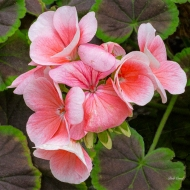 photo of Begonia