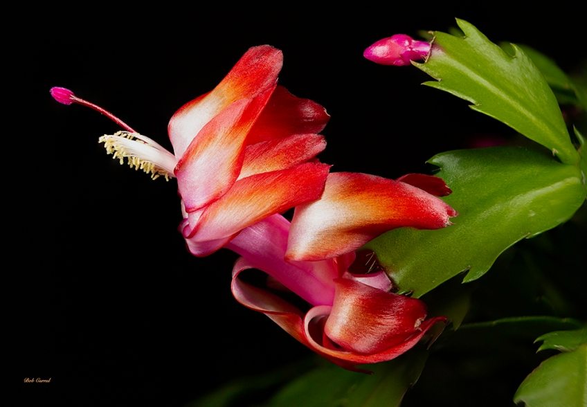 Macro Photo of Christmas Cactus