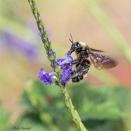 photo of Bumblebee on Porterweed