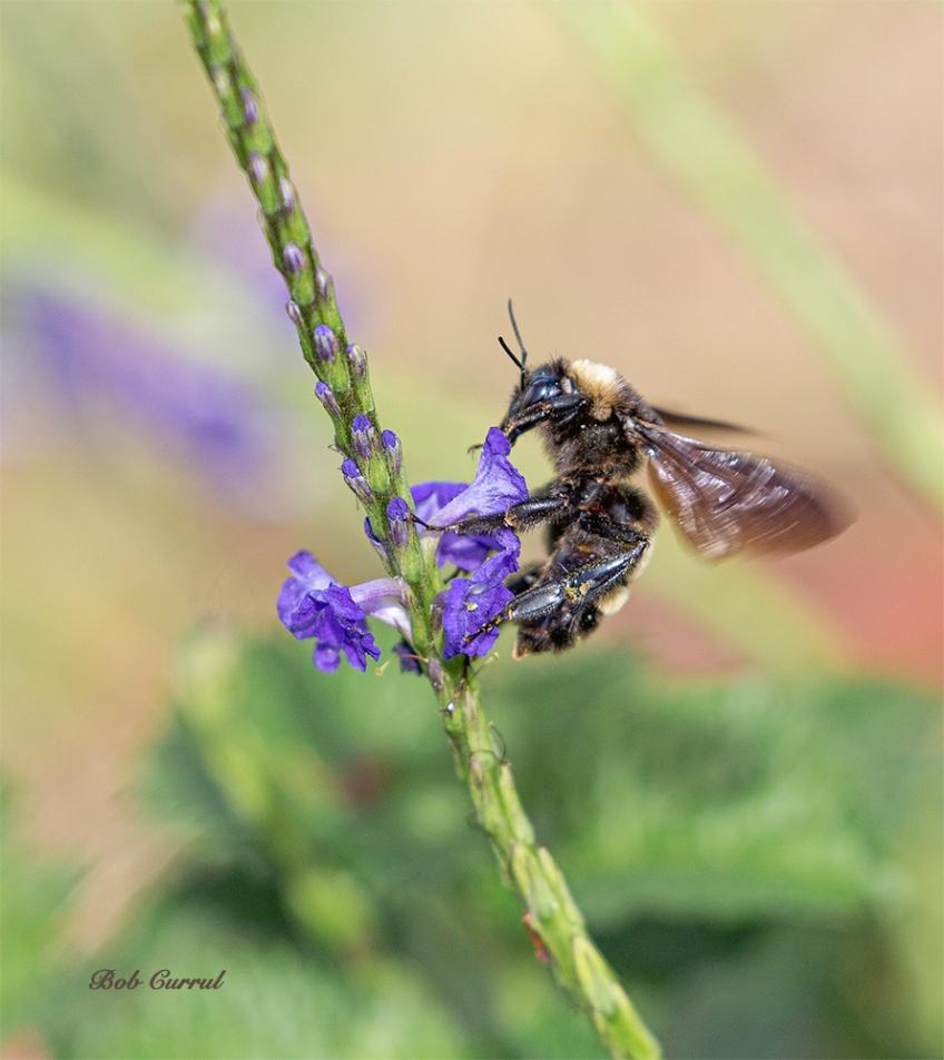 photo of Bumblebee on Porterweed
