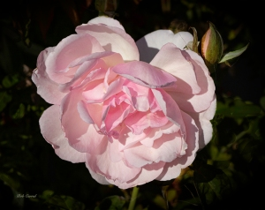 photo of Pink Rose and Bud