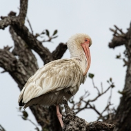 photo of Ibis in Branches